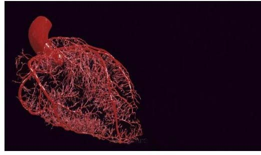 Coronary Microvasculature 300x300 2