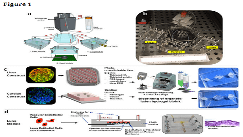 body on a chip system organoids